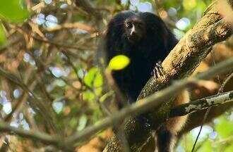Mico-leão-preto é protegido no Morro do Diabo - Na área com mais de 40 mil hectares no Oeste paulista, primata ameaçado encontra refúgio.