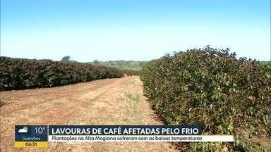 Lavouras de café são afetadas pelo frio - Plantações na Alta Mogiana sofreram com as baixas temperaturas.