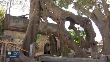 Proteção da árvore mais antiga da cidade foi derrubada - Figueira das Lágrimas fica no Ipiranga e existe há mais de 200 anos. O muro e a grade de proteção foram derrubados em uma obra de revitalização do local.