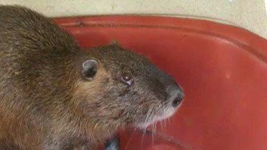 Ratão-do-banhado é visto em Mogi das Cruzes - O animal típico da Mata Atlântica foi recolhido por uma equipe do Centro de Controle de Zoonoses.