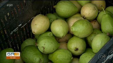 Começa safras de goiaba no Vale do São Francisco - Os produtores conseguem vender a caixa com 25 quilos da fruta por até 50 reais no mercado interno.