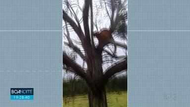 """Onças são flagradas em cima de árvore - O """"xerife"""" cachorro da fazenda, estava de olho nelas"""