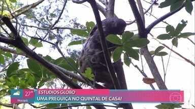 Preguiça aparece nos arredores da Casa de Cristal - Animal vive na mata que fica dentro do terreno dos Estúdios Globo no Rio de Janeiro