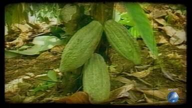 Acompanhe o desenvolvimento da produção de cacau clonado na região sul do estado - Depois da devastação de plantações pela 'vassoura-de-bruxa', a clonagem foi a solução para a retomada da produção.