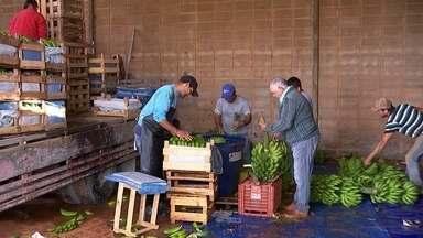 Produtores lucram com volta às aulas - Durvalino Rosa acorda cedo todos os dias para cuidar da plantação em Porto Feliz (SP). Ele diversifica os cultivos para conseguir renda de janeiro a dezembro. A produção tem pupunha, alface, cheiro verde, banana e repolho.