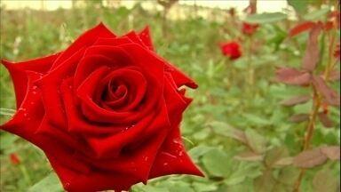 Cultivo de rosas é atração turística na região serrana do Ceará - Clima da região favorece o cultivo.