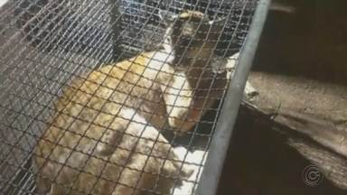 Onça parda é resgatada após ser atropelada em rodovia em Botucatu - O animal estava ferido no acostamento da rodovia Marechal Rondon e foi resgatado pelos bombeiros. A onça foi encaminhada para o Cempas da Unesp e vai passar por cuidados veterinários.