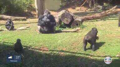 Gorilinha que nasceu em junho no Zoológico de BH é fêmea - Bebê é a quarta filhote da espécie no zoológico da capital mineira.