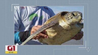 Confira as notícias de destaque do G1 Santos - Tartarugas foram resgatadas no meio do lixo, em Peruíbe