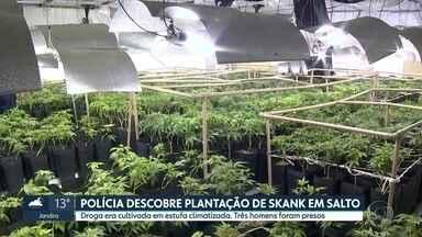 Policia descobre estufa com mais de 4 mil pés de skank em Salto, no interior do Estado - A droga, que é maconha geneticamente modificada, estava num galpão climatizado. Três homens foram presos em flagrante