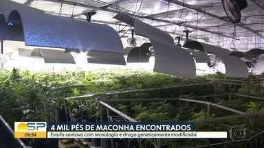 4 mil pés de maconha encontrados em Salto - Estufa contava com tecnologia e droga geneticamente modificada.