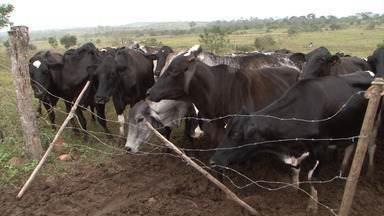 Bahia Rural 20 anos: relembre o desenvolvimento do gado leiteiro no sudoeste baiano - A Bahia é o maior produtor de leite do Nordeste, com mais de 28% da produção regional.