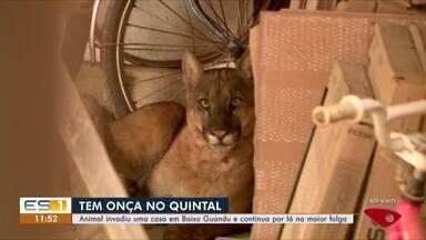 Onça invade casa em Baixo Guandu, ES - Equipe está no local desde a madrugada desta sexta-feira (23) tentando fazer resgate do animal.