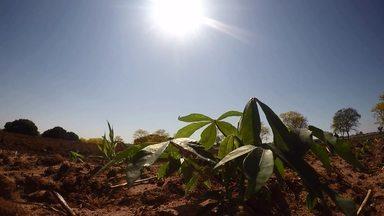 Estiagem provoca prejuízos na safra de mandioca - Tem produtor que não está colhendo a raiz. O trigo que está começando a ser colhido também já foi afetado.