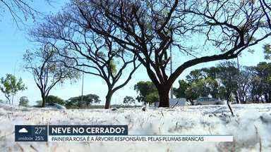 """Plumas brancas que parecem neve cobrem o gramado do DF - Segundo a Novacap, """"paineira rosa"""" é o nome da árvore responsável pela """"neve do cerrado"""". O que parece algodão, na verdade, se chama """"paina"""", que é por onde se espalham as sementes."""