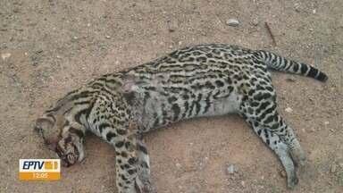 Atropelamentos de animais preocupam no Parque Estadual Serra da Boa Esperança - Atropelamentos de animais preocupam no Parque Estadual Serra da Boa Esperança