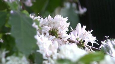 Florada do café anuncia boa safra pela frente - Oliveiras e pés de jabuticabas também floriram essa semana no Paraná
