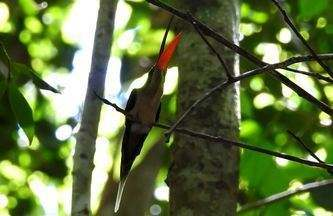 Gestor de RPPN filma display de beija-flor raro - Rabo-branco-de-margarette é considerado um dos beija-flores mais raros do Brasil. Vídeo mostra ave exibindo parte alaranjada do bico.