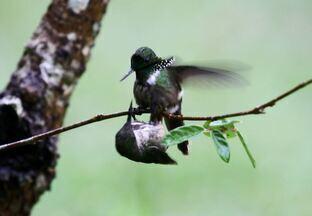 Guia de birdwatching filma cópula do topetinho-verde - O registro foi feito em Juquitiba (SP).