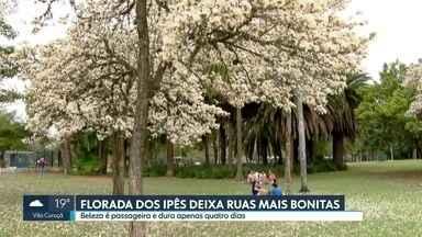 Florada dos ipês embeleza ruas de São Paulo - Árvore floresce nos meses secos e cada floração dura cerca de quatro dias. Devido à grande concentração de árvores, Parque do Ibirapuera vira ponto de encontro dos que querem apreciar a beleza das flores.