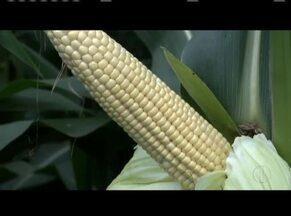 Armazenamento correto das sementes influencia na colheita - Controlar a temperatura é o primeiro passa para evitar a proliferação de bactérias e fungos.