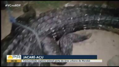 Comunidade captura jacaré em área urbana de Marabá - Jacaré capturado.