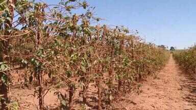 Seca e altas temperaturas atrapalham safra do café em Monte Carmelo - Redução era prevista pela bienalidade da produção, mas números foram agravados por questão ambiental.