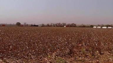 Colheita de algodão agrada aos produtores de Água Comprida - Números da cidade do Triângulo Mineiro seguem tendência de crescimento nacional.