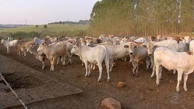Gado da raça Araguaia oferece carne mais saudável para o consumidor - Gado da raça Araguaia oferece carne mais saudável para o consumidor.