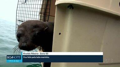Fêmea de lobo marinho volta para o mar - Ela passou por tratamento após ser resgatada em agosto deste ano com ferimentos, no litoral do Estado