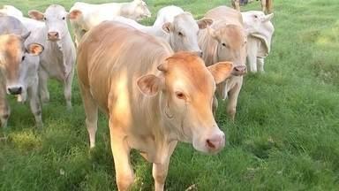 Raça araguaia é uma das mais novas do rebanho bovino brasileiro - O gado da raça araguaia é pouco conhecido no nosso rebanho, mas vem sendo descoberto por vários pecuaristas. Em Boituva (SP), Renato Sebastiani cria 270 cabeças.