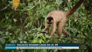 Moradores estão incomodados com macacos no bairro Ipê - Animais estão invadindo as casas.