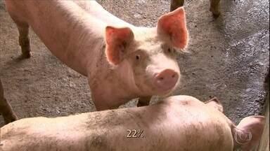 Produtores de suínos do Paraná correm atrás de autorização para exportar para a China - Atualmente apenas 5 plantas frigoríficas do Brasil têm permissão para vender aos chineses e nenhuma delas está no estado.
