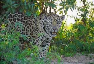 Onças-pintadas do Pantanal - Equipe do TG encontra 11 onças em área do Pantanal norte.