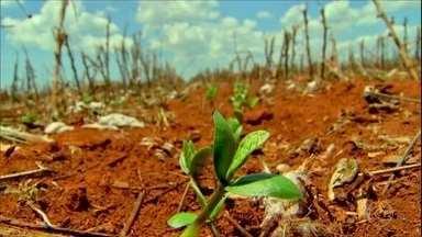 Falta de chuvas provoca o replantio de soja em Mato Grosso - Chuvas instáveis no estado forçaram os agricultores a correr contra o tempo para conseguir cultivar a segunda safra.