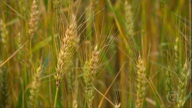 Excesso de chuva prejudica a colheita do trigo no Rio Grande do Sul - Mais de 80% da área de trigo ainda não foi colhida no estado. A preocupação dos agricultores é a perda de qualidade do grão.