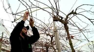 O uso da tecnologia na produção de uvas - O Instituto Federal de Bento Gonçalves, na Serra Gaúcha, tem se dedicado a pesquisar tecnologias para melhorar a produção de uvas.
