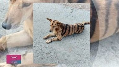Ana Maria mostra mais fotos de animais pintados de formas diferentes - Na Índia, fazendeiros pintaram um cachorro para que ele se pareça com um tigre e espante macacos que roubam milho da plantação