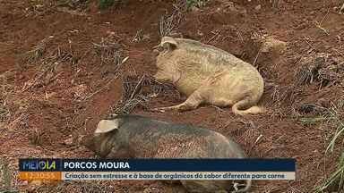 Porcos Moura: Criação sem estresse e à base de orgânicos dá sabor diferente para carne - Conheça essa raça de suíno, desenvolvida na região sul do país.