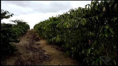 Produtor de café conilon de Linhares, ES, investe em adubação orgânica - Ele disse que conseguiu reduzir em 30% o custo de produção.