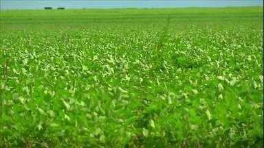 Queda no preço da pluma reduz cultivo do algodão em MT - Cotação da arroba é 10% menor do que no mesmo período do ano passado.