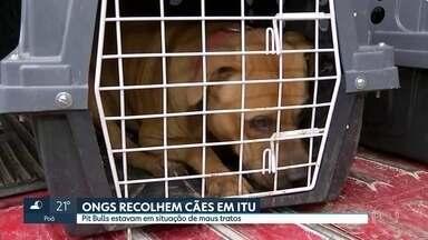 Ongs recolhem cães em situação de maus tratos em Itu - Animais estavam numa chácara alugada por um peruano preso no fim de semana numa rinha de cachorros em Mairiporã.