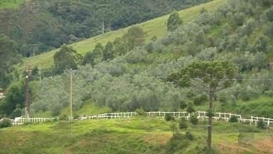 'Ouro da Mantiqueira': Monte em Alpinópolis tem plantação de oliveiras - Sul de Minas tem mais de um milhão de pés da planta