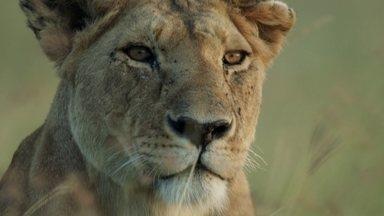 Dinastias: leoa abandonada por leão adulto tem que proteger filhotes em reserva do Quênia - Entre os leões, existe uma divisão que se transmite de geração em geração. Machos protegem e fêmeas criam os filhotes, mas essa é a história de uma família abandonada por um leão adulto, na em uma reserva nacional do Quênia.