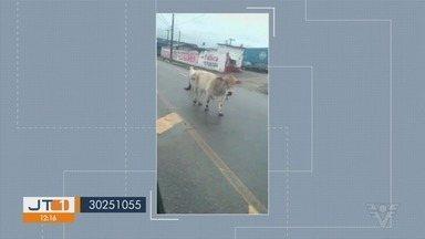 Animais são flagrados em uma avenida de São Vicente - Um boi, uma vaca e um bezerro estavam no meio da Avenida Augusto Severo.