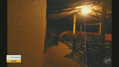 Homem enfrenta medo de onça em Águas da Prata, SP, para defender rebanho - Terra da Gente apresenta a história de José Flávio Ribeiro, que dormiu em curral para flagrar e impedir a predadora; ele registrou toda a ação em vídeo.