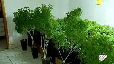 Polícia encontra plantação de pés de maconha em Itu - Uma operação levou a polícia de Sorocaba (SP) a descobrir uma plantação de pés de maconha em Itu (SP).