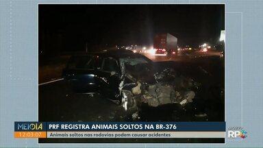 Animais soltos em rodovias do Paraná podem causar acidentes - PRF teve trabalho para retirar animais da BR-376, na região noroeste.