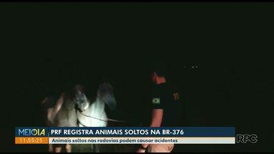Animais soltos são resgatados após duas horas de ação da PRF - Em outra região do estado, cavalo na pista causou acidente com morte.