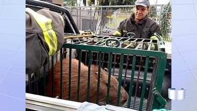 Capivara invade prédio comercial e é resgatada por bombeiros em São José - Capivara invadiu prédio na avenida Andrômeda. Porteiro decidiu acionar os bombeiros depois que ela não conseguiu sair. Animal foi levado para o Parque da Cidade.